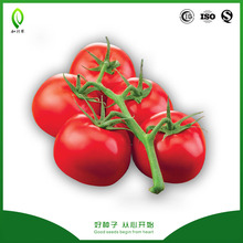 High yield hybrid tomato seeds for sale