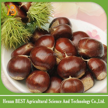 selling fresh Chinese chestnut have sweet taste