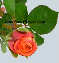 New arrival fresh rose high quality fresh long stem roses golden rose in big discount from china