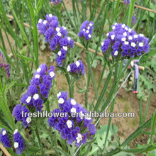 Purple Myosotis sylvatica