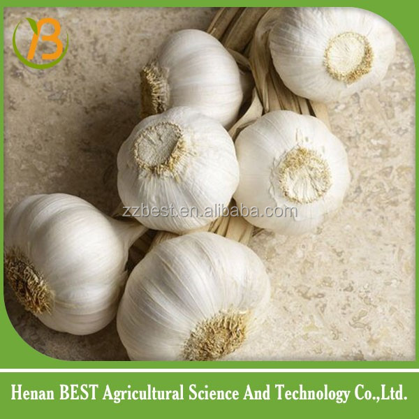 New arrival Chinese garlic nice quality