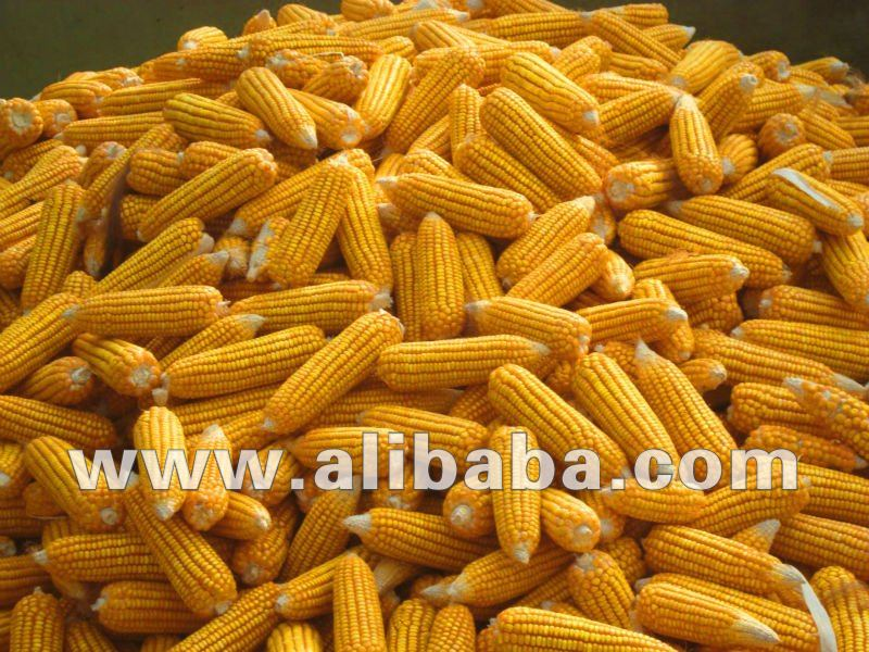 YELLOW CORN FOR POULTRY FEED