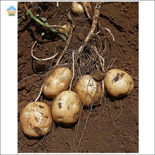 2018 autumn newest fresh potatoes in small sizes