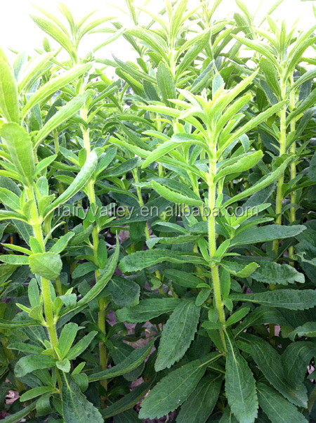 Hot Sale Stevia Seeds Stevia Plant Seeds For Cultivation-Fairy Nong No.3
