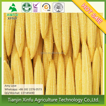 High quality frozen baby corn cobs