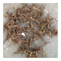 China tree root for sale bare stump 99% survive