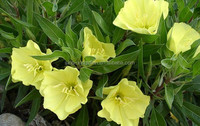 evening primrose seed oil for reducing cancer development