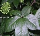 Black Cohosh Extract Triterpenoid Saponis