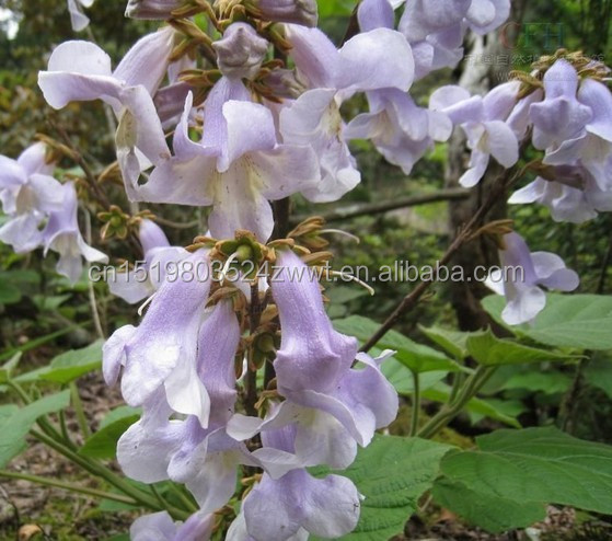 Purple Color Paulownia Flower Type hybrid 9501 paulownia seeds