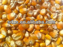 corn seed both for people consumption and animal feed
