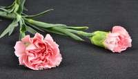 Wholesale Cheapest Price cut fresh carnation flowers for home ornament kenya