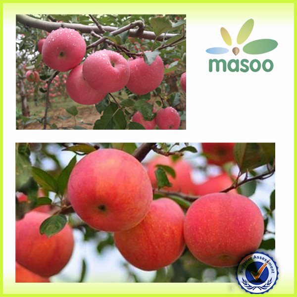 gala apple/apple/fresh apple with high quality