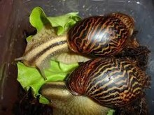 Giant live, dried and frozen snails