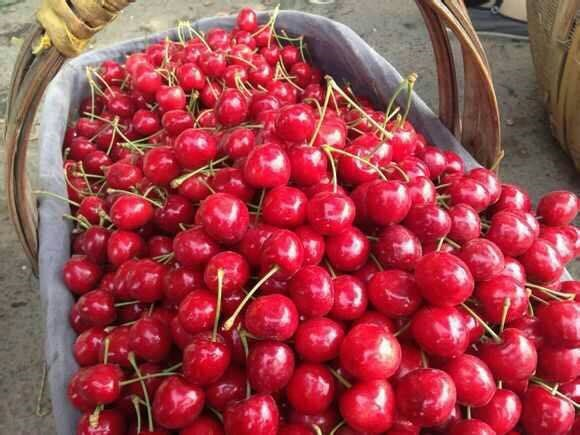 bagged china fresh cherries high quality