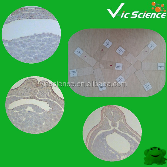 28 Items Frog Embryology Microscope Slide