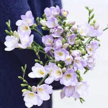 China hot selling ornamental fresh cut flower Freesia purple for decoration