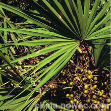 Saw palmetto extract, 25% total fatty acid