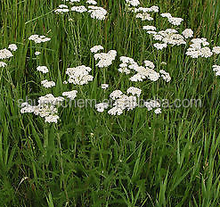 high quality Yarrow Flower powder factory direct sale and good price