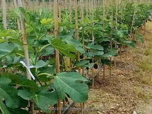 Nursery Fruit Seedlings - Ficus Carica Linn Fig Trees