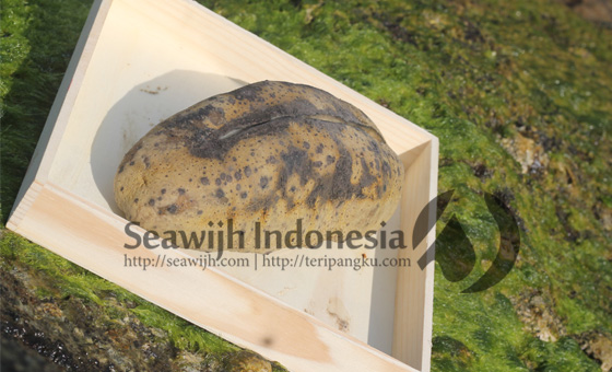 Teripang Susu / Sea Cucumber White Teatfish