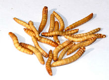 100g per tub freeze dried mealworm