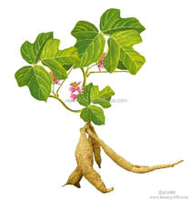 Kudzu Root Extract, High Quality Puerariae Isoflavones
