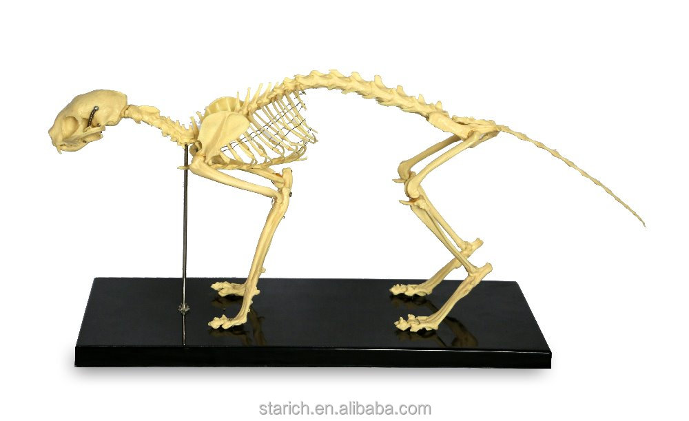 Cat Skeleton Model
