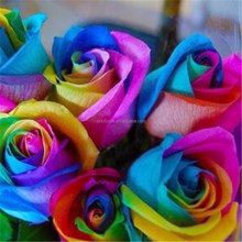 Wholesale best price for high breed rainbow flower rose seeds