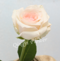 White fresh cut rose with little pink