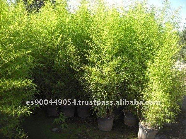 Phyllostachys bamb piante boscose id prodotto 123036144 for Pianta bambu prezzo