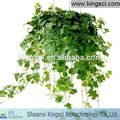 Natural Chinese Ivy Leaves Hedera Helix Extract Powder KS-09