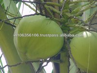 Green Young Coconut from Kerala,God's Own Country