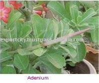 Adenium Plant Ornamental Plant, tropical exotic plant