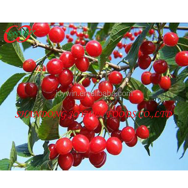 New crop frsh fruit canned cherry in syrup supplier hot sell