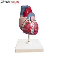 Medical Plastic PVC Human Heart Anatomical