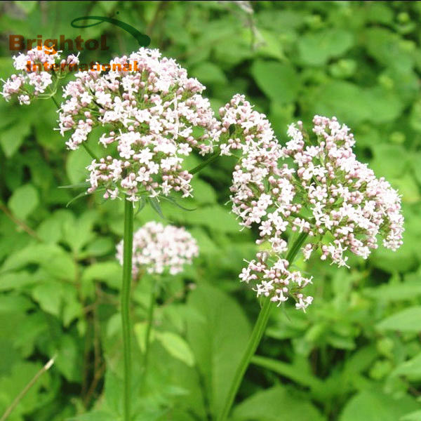 High Quality Valerian Root Extract with free sample