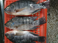 Hot sale China Seafood Product IQF Frozen Black Tilapia Fish Gutted & Scaled