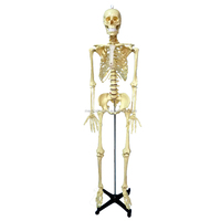 PVC Life Size Artifical Human Body Anatomy Skeleton Model