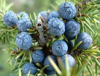 100% Pure and Natural juniper berries essential oil / juniper berriy oil