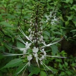 Natural Triterpene Glycosides Black Cohosh Root Extract