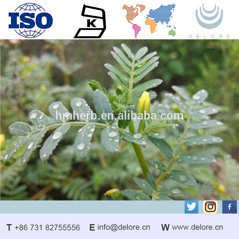 Daily need product herb tribulus terrestris sexual stimulants