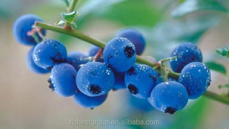 improve eyesight Bilberry Extract