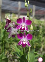 Best Quality Thailand Natural Fresh Dendrobium Orchid Plants