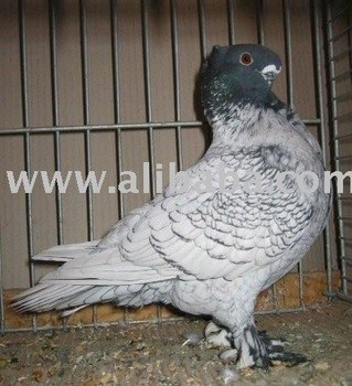 fancy pigeons buy fancy pigeon product on alibaba.com