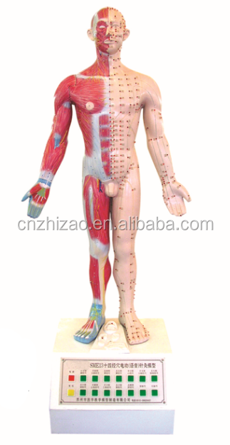 university 14 acupoints and meridians speech electric acupuncture anatomical model