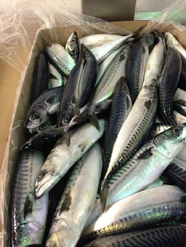 WR Frozen Atlantic Mackerel - Scomber Scombrus
