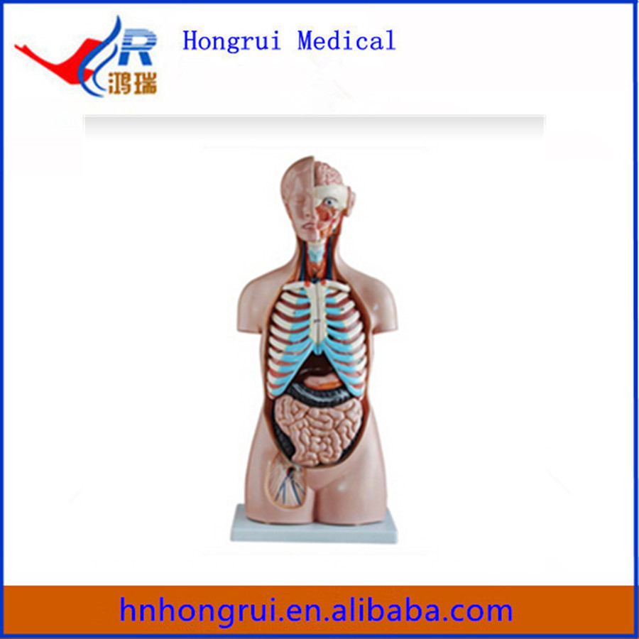 85CM 20 Parts human body anatomy Sexless Torso model