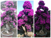 small medium big size multicolor blooming Bougainvillea spectabilis Willd of decorative ornamental outdoor indoor bonsai plants