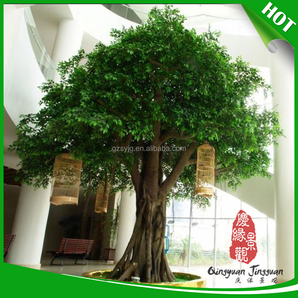 most popular live ficus tree
