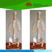 Factory supplied directly hospital school use upper body skeleton model for teaching